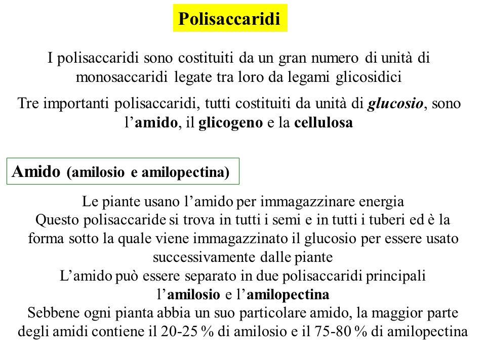 Polisaccaridi I polisaccaridi sono costituiti da un gran numero di unità di monosaccaridi legate tra loro da legami glicosidici Tre importanti polisac