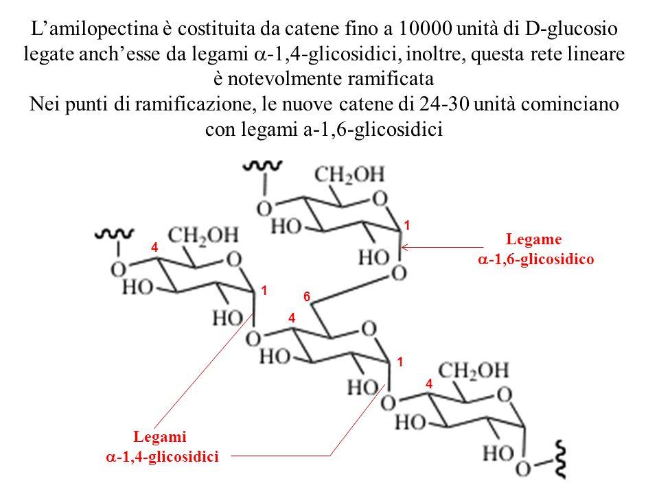 Legami  -1,4-glicosidici 4 1 6 1 1 4 4 L'amilopectina è costituita da catene fino a 10000 unità di D-glucosio legate anch'esse da legami  -1,4-glico