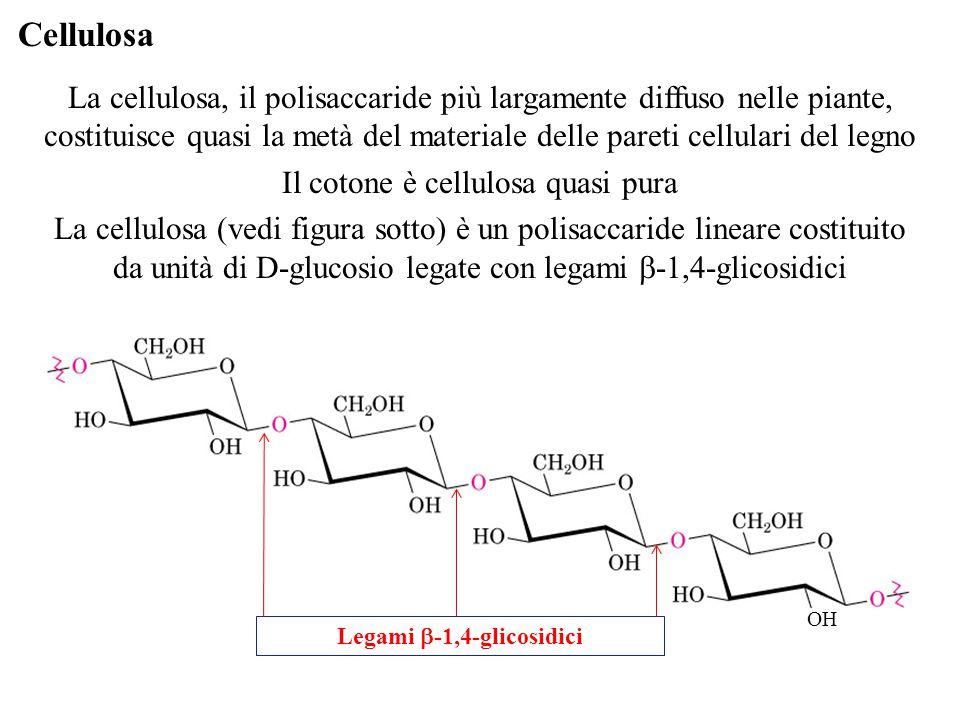 Cellulosa La cellulosa, il polisaccaride più largamente diffuso nelle piante, costituisce quasi la metà del materiale delle pareti cellulari del legno