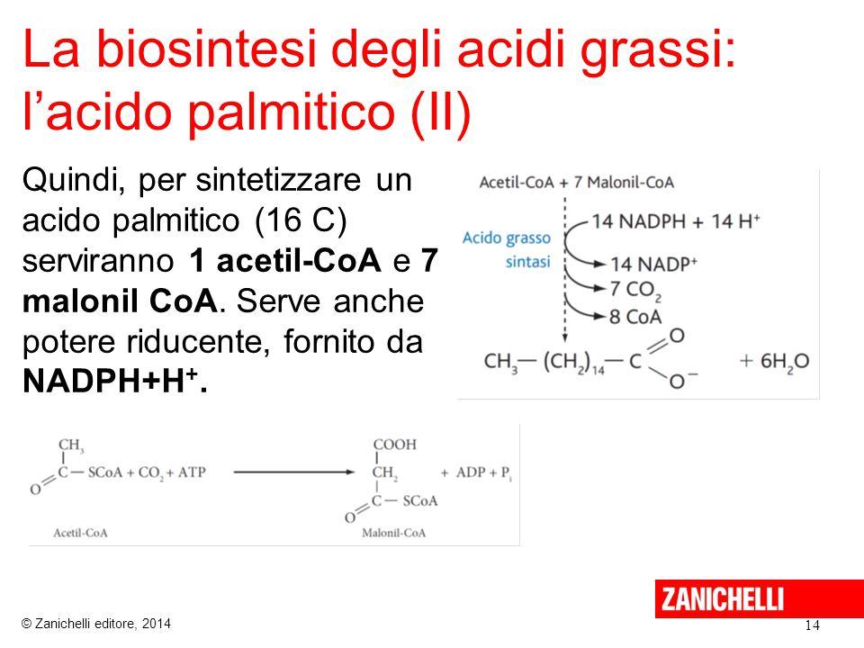 La biosintesi degli acidi grassi: l'acido palmitico (II) Quindi, per sintetizzare un acido palmitico (16 C) serviranno 1 acetil-CoA e 7 malonil CoA. S