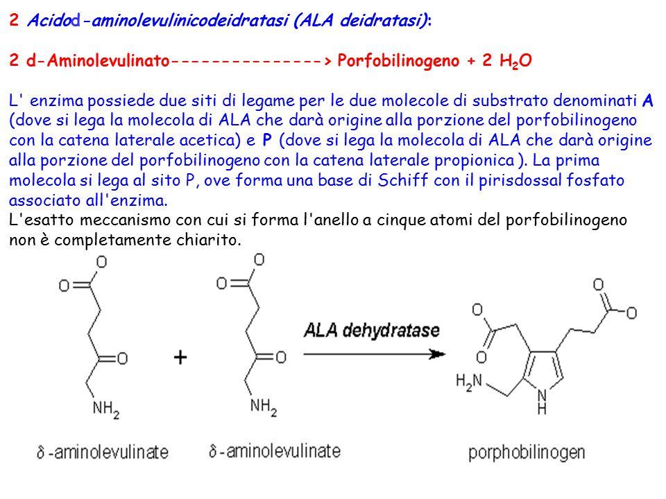 2 Acidod-aminolevulinicodeidratasi (ALA deidratasi): 2 d-Aminolevulinato---------------> Porfobilinogeno + 2 H 2 O L' enzima possiede due siti di lega