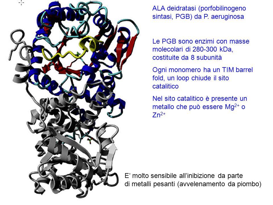 ALA deidratasi (porfobilinogeno sintasi, PGB) da P. aeruginosa Le PGB sono enzimi con masse molecolari di 280-300 kDa, costituite da 8 subunità Ogni m