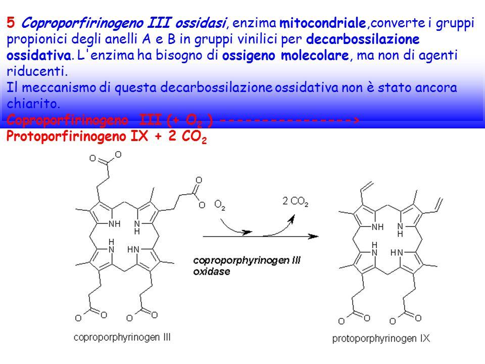 5 Coproporfirinogeno III ossidasi, enzima mitocondriale,converte i gruppi propionici degli anelli A e B in gruppi vinilici per decarbossilazione ossid