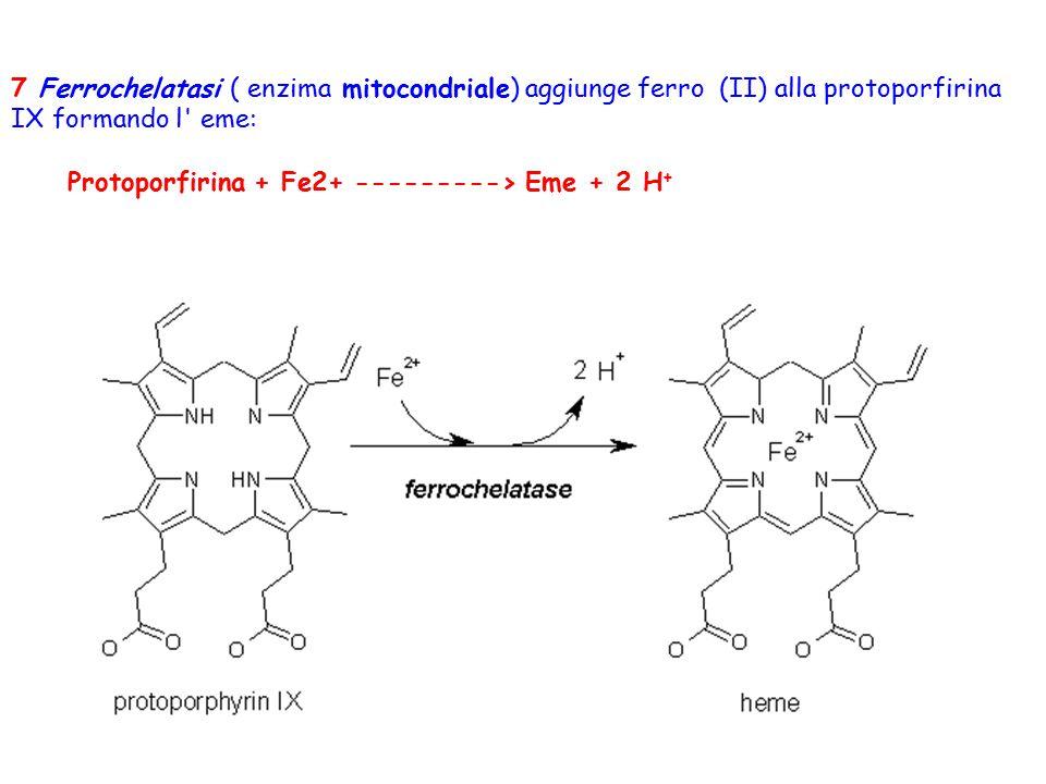 7 Ferrochelatasi ( enzima mitocondriale) aggiunge ferro (II) alla protoporfirina IX formando l' eme: Protoporfirina + Fe2+ ---------> Eme + 2 H +