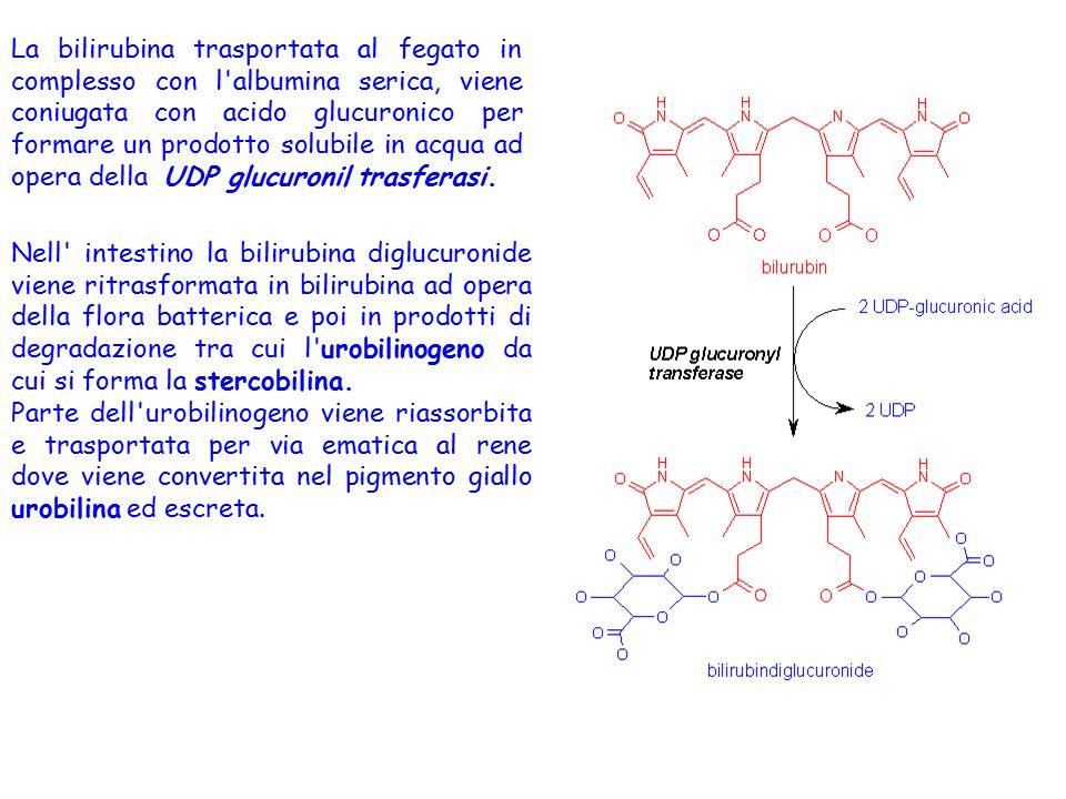 La bilirubina trasportata al fegato in complesso con l'albumina serica, viene coniugata con acido glucuronico per formare un prodotto solubile in acqu