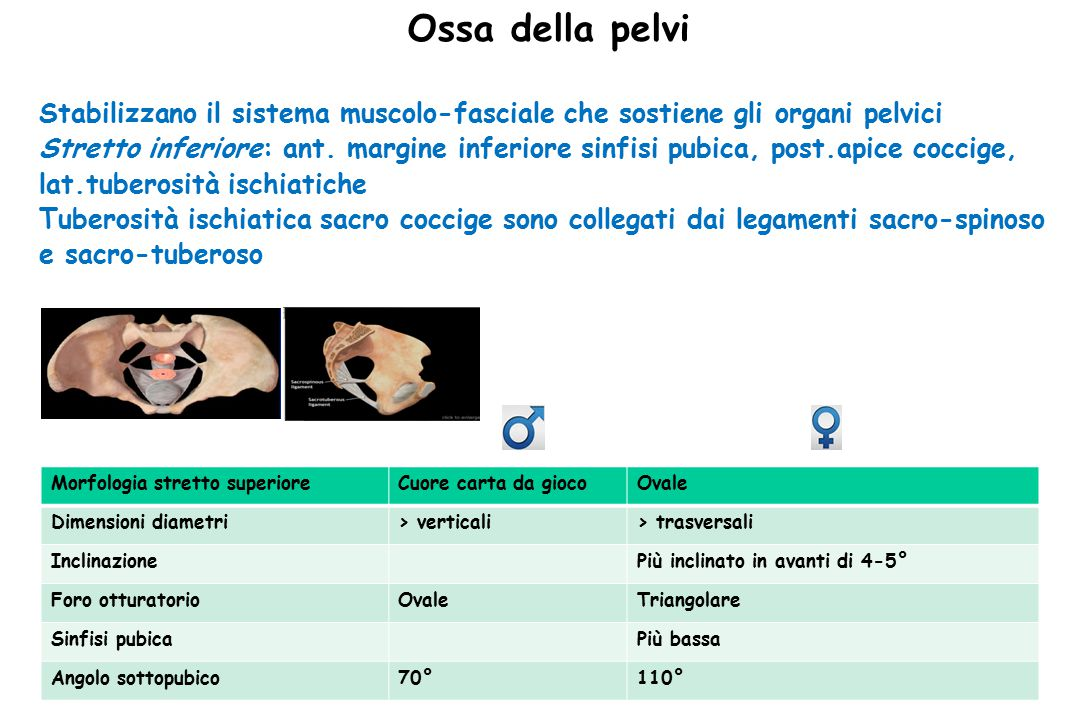 Pavimento Pelvico L'apertura descritta è occupata dal muscolo elevatore dell'ano nelle sue due componenti, pubococcigeo, ileococcigeo e dall' ischiococcigeo.