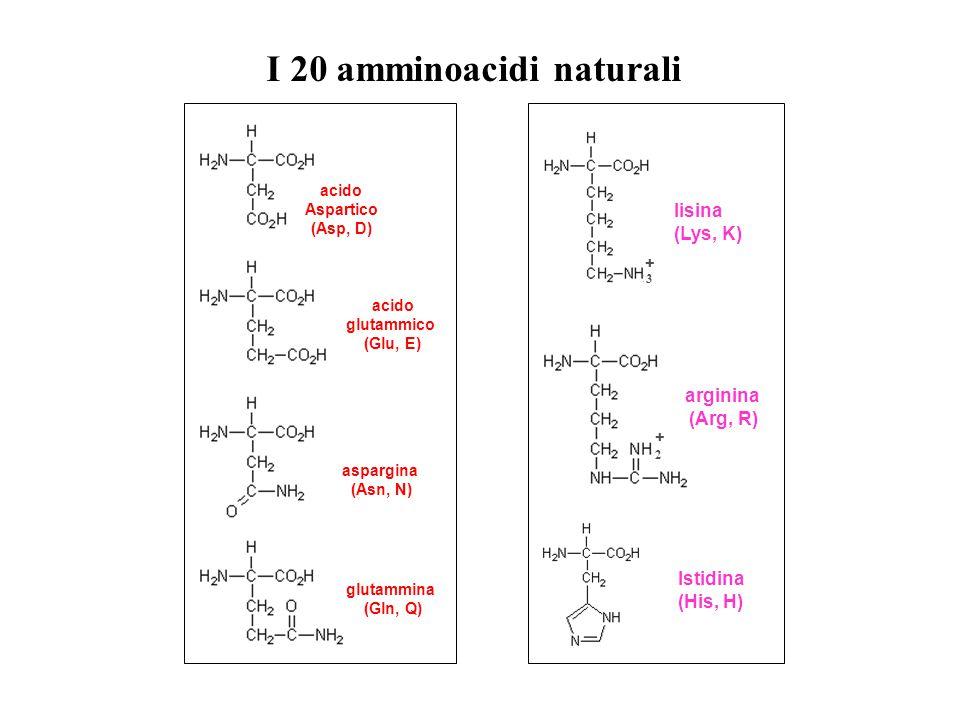 acido Aspartico (Asp, D) acido glutammico (Glu, E) aspargina (Asn, N) glutammina (Gln, Q) lisina (Lys, K) Istidina (His, H) + 2 arginina (Arg, R) 3 +