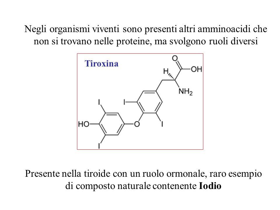 Negli organismi viventi sono presenti altri amminoacidi che non si trovano nelle proteine, ma svolgono ruoli diversi Tiroxina Presente nella tiroide c