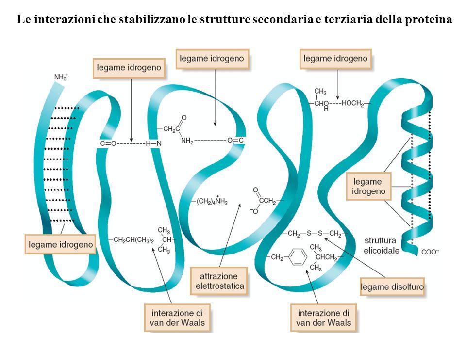 Le interazioni che stabilizzano le strutture secondaria e terziaria della proteina