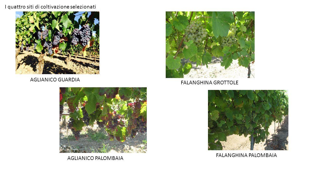 AGLIANICO PALOMBAIA AGLIANICO GUARDIA FALANGHINA GROTTOLE FALANGHINA PALOMBAIA I quattro siti di coltivazione selezionati
