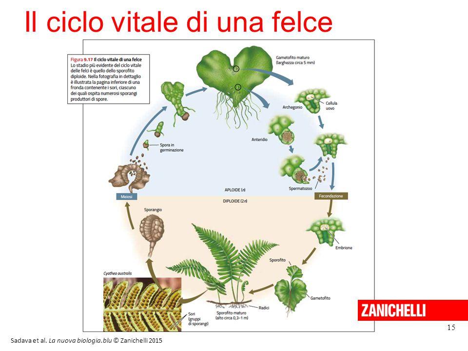 15 Il ciclo vitale di una felce Sadava et al. La nuova biologia.blu © Zanichelli 2015