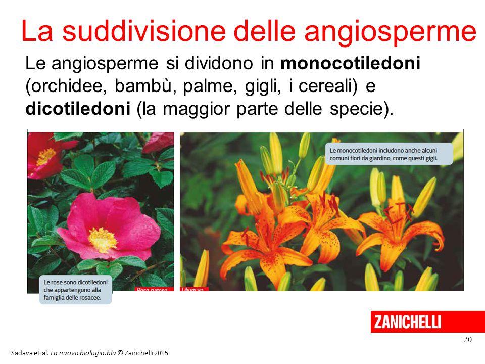 La suddivisione delle angiosperme 20 Sadava et al. La nuova biologia.blu © Zanichelli 2015 Le angiosperme si dividono in monocotiledoni (orchidee, bam