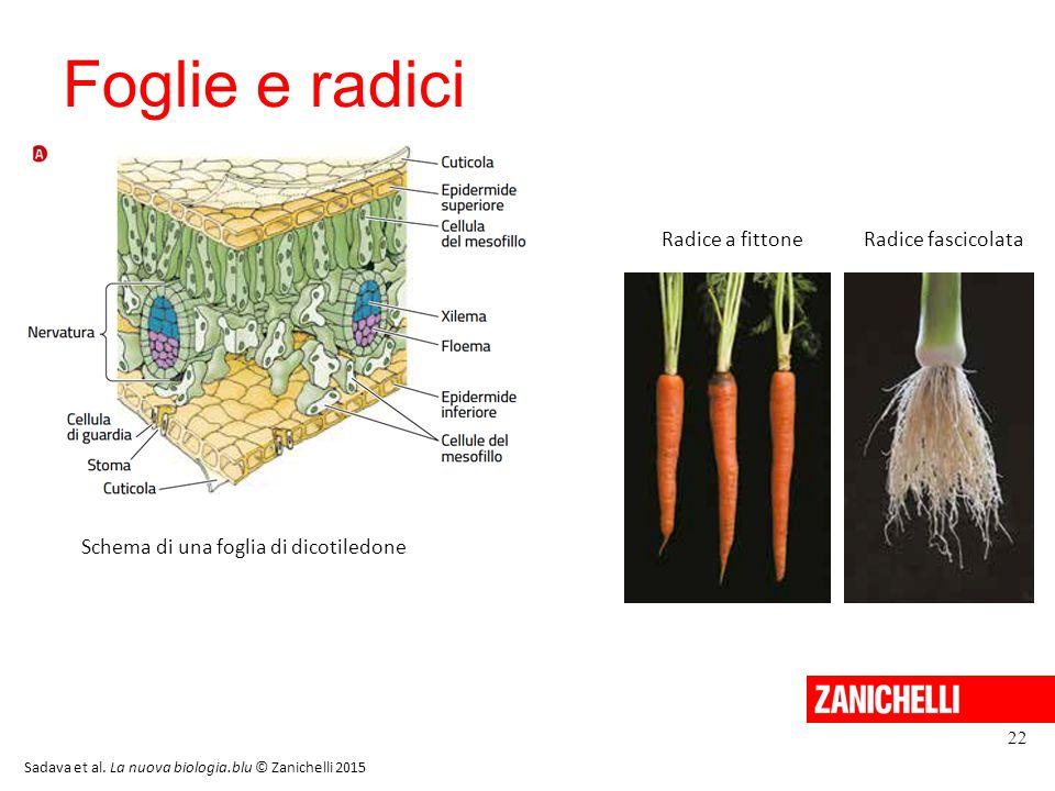 Foglie e radici 22 Sadava et al. La nuova biologia.blu © Zanichelli 2015 Schema di una foglia di dicotiledone Radice a fittoneRadice fascicolata