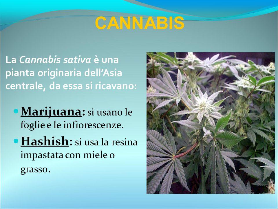 Marijuana: si usano le foglie e le infiorescenze. Hashish: si usa la resina impastata con miele o grasso. CANNABIS La Cannabis sativa è una pianta ori