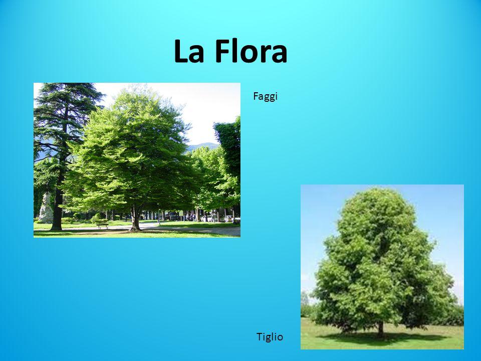 La Flora Faggi Tiglio