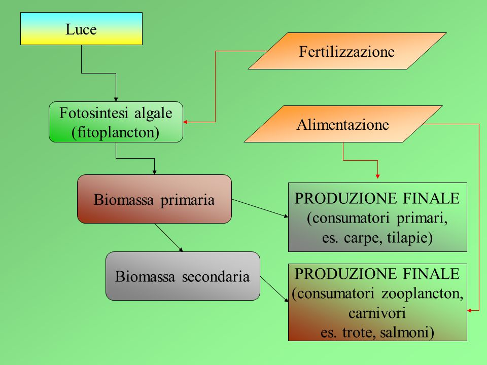 Luce Fotosintesi algale (fitoplancton) Biomassa primaria Biomassa secondaria PRODUZIONE FINALE (consumatori zooplancton, carnivori es.