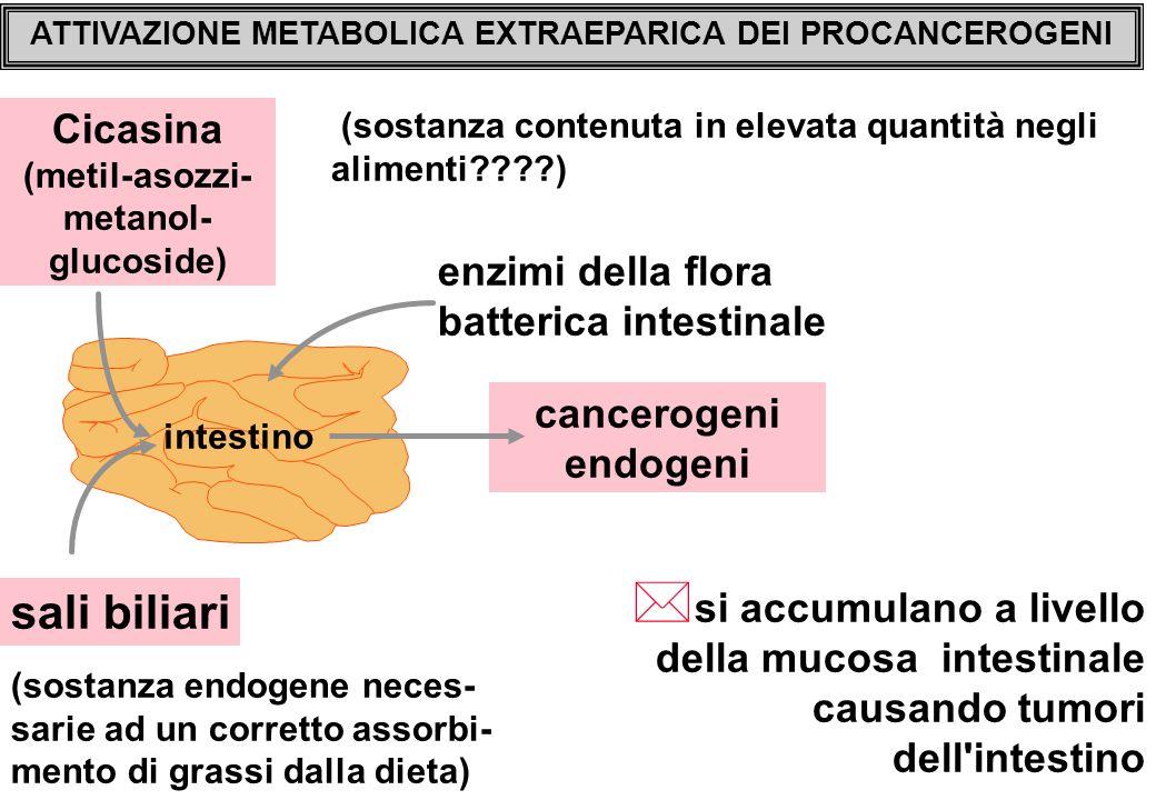 ATTIVAZIONE METABOLICA EXTRAEPARICA DEI PROCANCEROGENI Cicasina (metil-asozzi- metanol- glucoside) sali biliari enzimi della flora batterica intestinale cancerogeni endogeni * si accumulano a livello della mucosa intestinale causando tumori dell intestino (sostanza contenuta in elevata quantità negli alimenti????) intestino (sostanza endogene neces- sarie ad un corretto assorbi- mento di grassi dalla dieta)