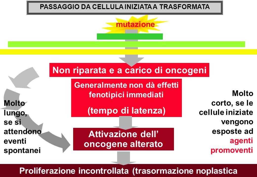 Non riparata e a carico di oncogeni Generalmente non dà effetti fenotipici immediati (tempo di latenza) mutazione PASSAGGIO DA CELLULA INIZIATA A TRASFORMATA Molto lungo, se si attendono eventi spontanei Molto corto, se le cellule iniziate vengono esposte ad agenti promoventi Attivazione dell' oncogene alterato Proliferazione incontrollata (trasormazione noplastica