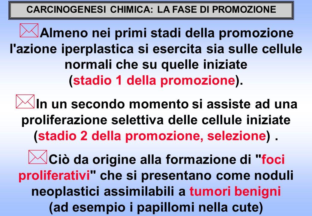 CARCINOGENESI CHIMICA: LA FASE DI PROMOZIONE * Almeno nei primi stadi della promozione l azione iperplastica si esercita sia sulle cellule normali che su quelle iniziate (stadio 1 della promozione).