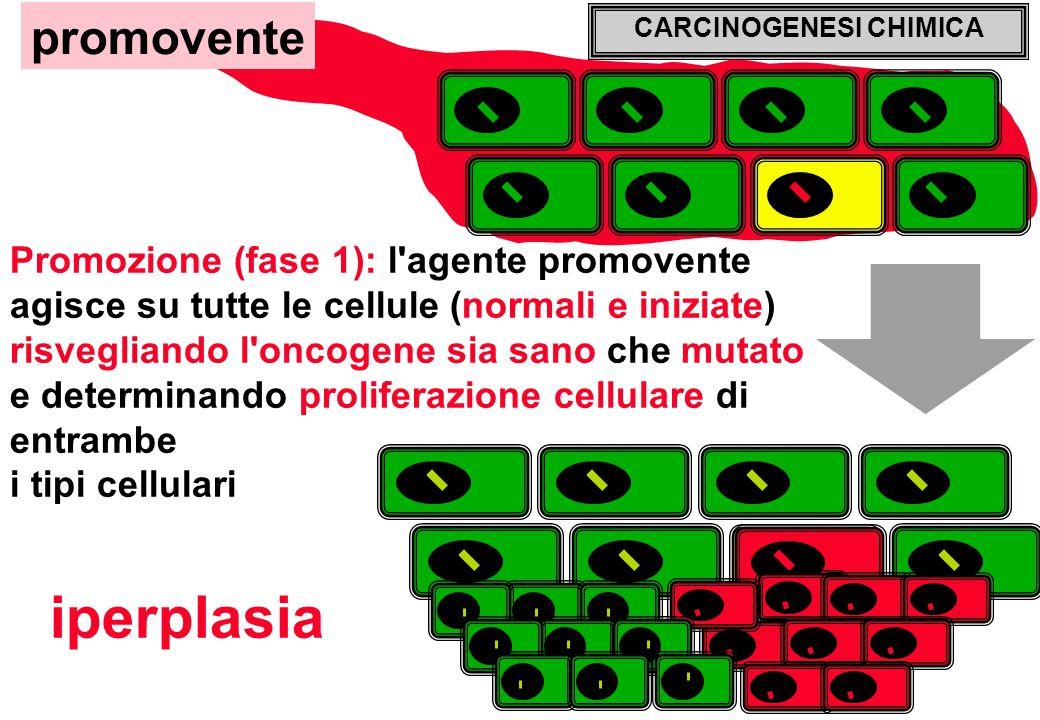 CARCINOGENESI CHIMICA Promozione (fase 1): l agente promovente agisce su tutte le cellule (normali e iniziate) risvegliando l oncogene sia sano che mutato e determinando proliferazione cellulare di entrambe i tipi cellulari promovente iperplasia