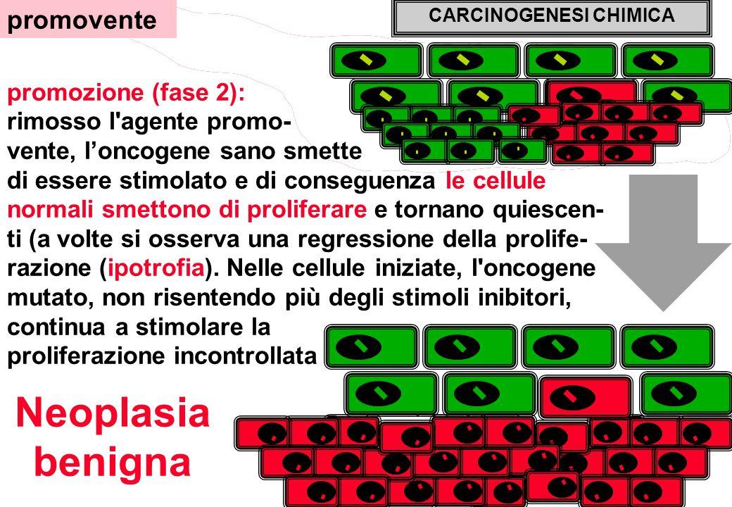 promozione (fase 2): rimosso l agente promo- vente, l'oncogene sano smette di essere stimolato e di conseguenza le cellule normali smettono di proliferare e tornano quiescen- ti (a volte si osserva una regressione della prolife- razione (ipotrofia).