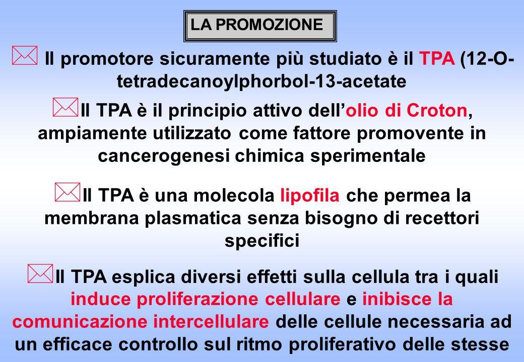 LA PROMOZIONE * Il promotore sicuramente più studiato è il TPA (12-O- tetradecanoylphorbol-13-acetate * Il TPA è il principio attivo dell'olio di Croton, ampiamente utilizzato come fattore promovente in cancerogenesi chimica sperimentale * Il TPA è una molecola lipofila che permea la membrana plasmatica senza bisogno di recettori specifici * Il TPA esplica diversi effetti sulla cellula tra i quali induce proliferazione cellulare e inibisce la comunicazione intercellulare delle cellule necessaria ad un efficace controllo sul ritmo proliferativo delle stesse