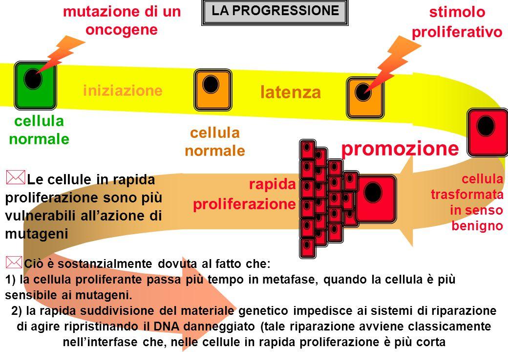 stimolo proliferativo cellula normale iniziazione latenza cellula trasformata in senso benigno promozione rapida proliferazione mutazione di un oncoge