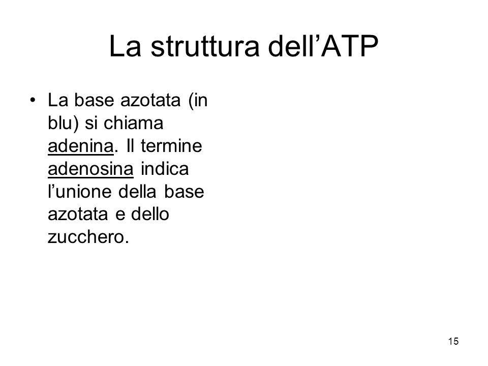 15 La struttura dell'ATP La base azotata (in blu) si chiama adenina. Il termine adenosina indica l'unione della base azotata e dello zucchero.