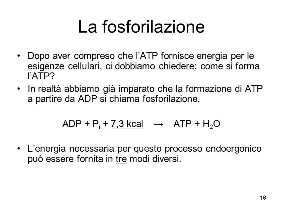 16 La fosforilazione Dopo aver compreso che l'ATP fornisce energia per le esigenze cellulari, ci dobbiamo chiedere: come si forma l'ATP? In realtà abb