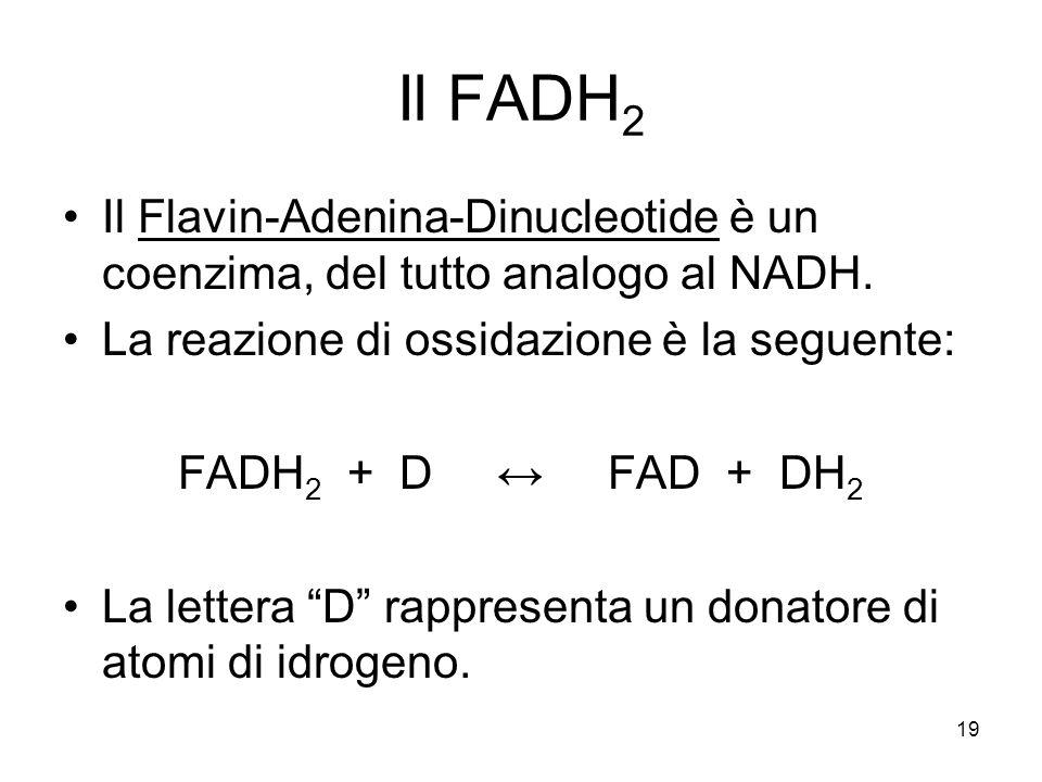 19 Il FADH 2 Il Flavin-Adenina-Dinucleotide è un coenzima, del tutto analogo al NADH. La reazione di ossidazione è la seguente: FADH 2 + D ↔ FAD + DH
