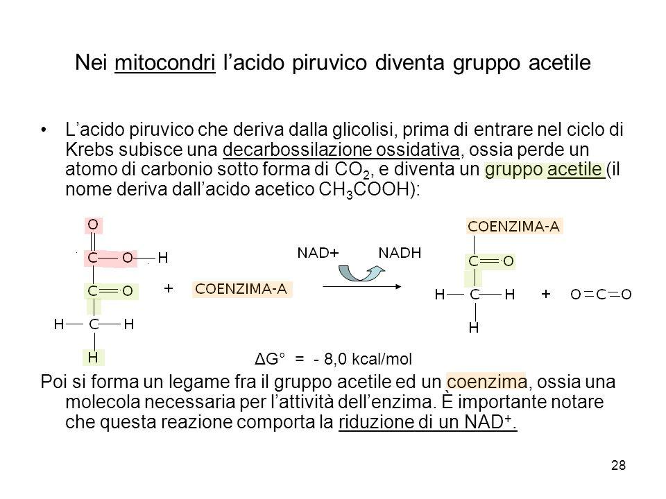 28 Nei mitocondri l'acido piruvico diventa gruppo acetile L'acido piruvico che deriva dalla glicolisi, prima di entrare nel ciclo di Krebs subisce una