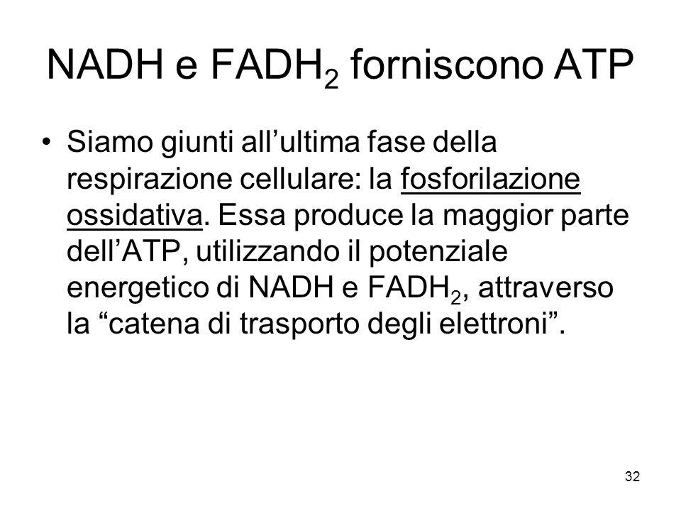 32 NADH e FADH 2 forniscono ATP Siamo giunti all'ultima fase della respirazione cellulare: la fosforilazione ossidativa. Essa produce la maggior parte