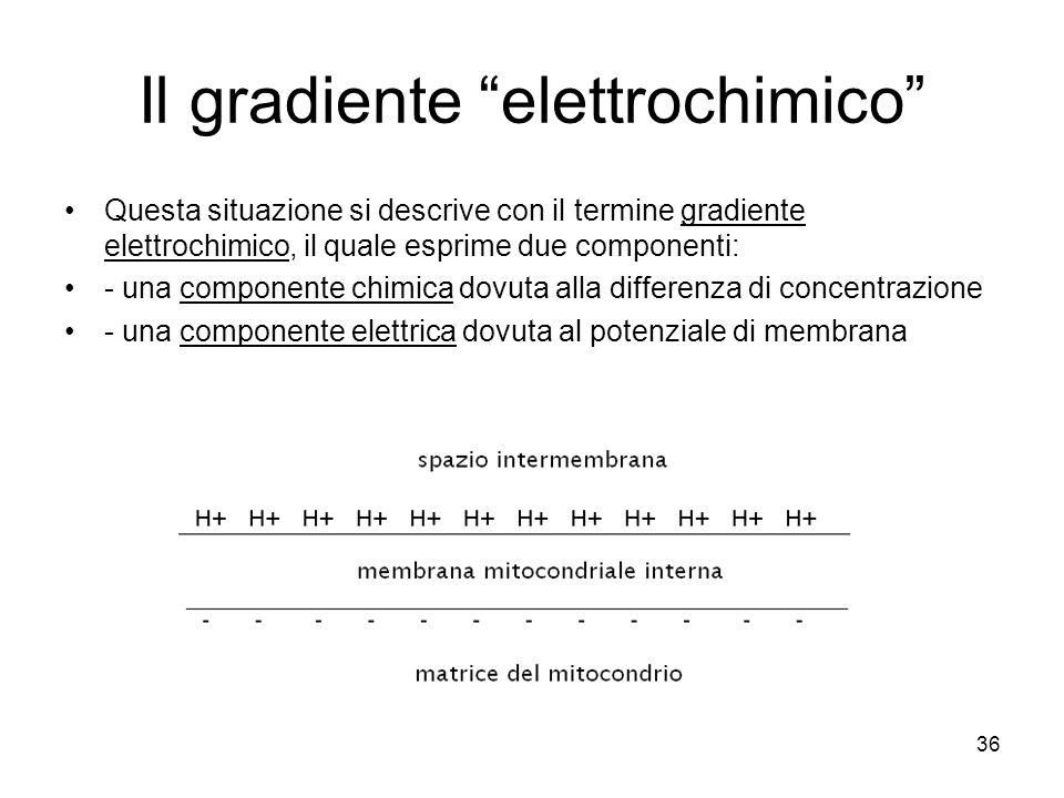 """36 Il gradiente """"elettrochimico"""" Questa situazione si descrive con il termine gradiente elettrochimico, il quale esprime due componenti: - una compone"""