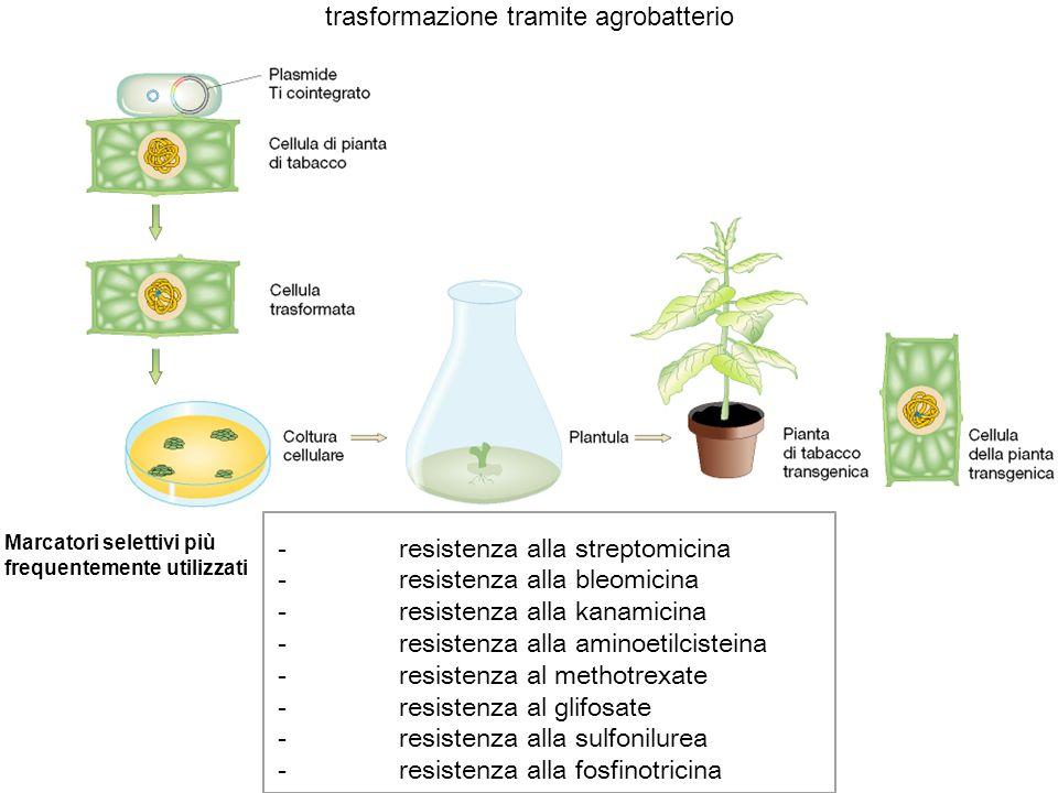 trasformazione tramite agrobatterio - resistenza alla streptomicina - resistenza alla bleomicina - resistenza alla kanamicina - resistenza alla aminoe