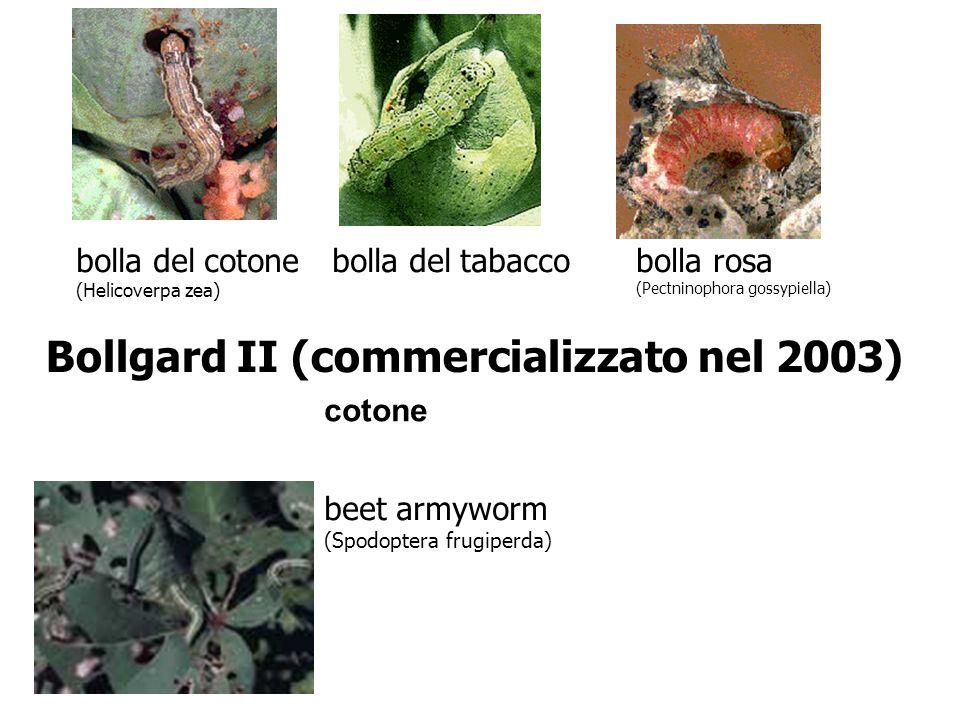 bolla del cotone (Helicoverpa zea) bolla del tabaccobolla rosa (Pectninophora gossypiella) Bollgard II (commercializzato nel 2003) beet armyworm (Spod