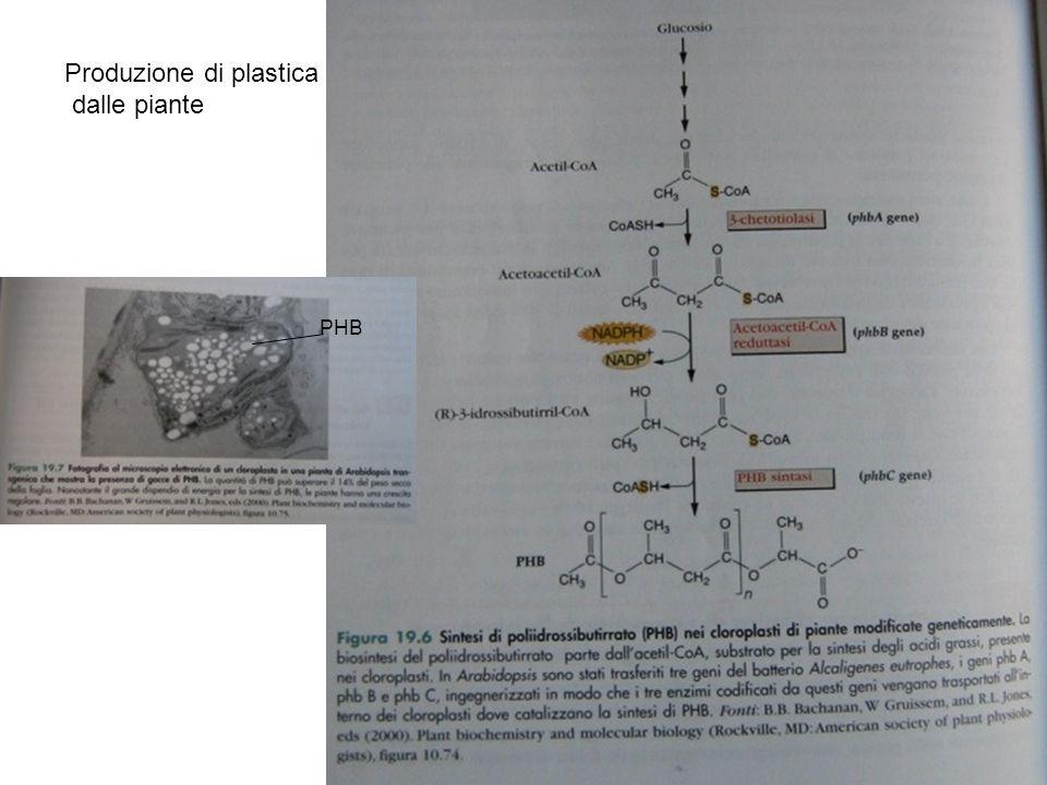 Produzione di plastica dalle piante PHB