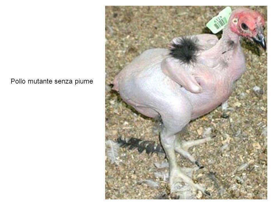 Pollo mutante senza piume