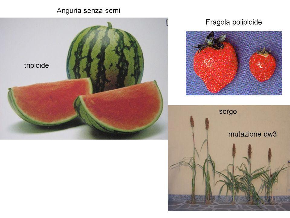 Anguria senza semi triploide Fragola poliploide mutazione dw3 sorgo