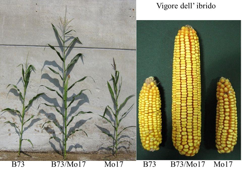Un altro grande problema è la coesistenza tra OGM e non OGM per il mais questa distanza è di 200-300 metri Il polline si disperde lontano dal luogo di origine A che distanza i campi di ogm e non ogm devono trovarsi?