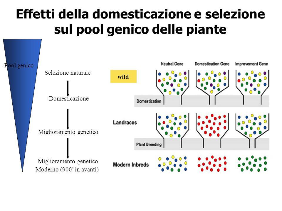 Effetti della domesticazione e selezione sul pool genico delle piante wild Domesticazione Selezione naturale Miglioramento genetico Moderno (900' in a
