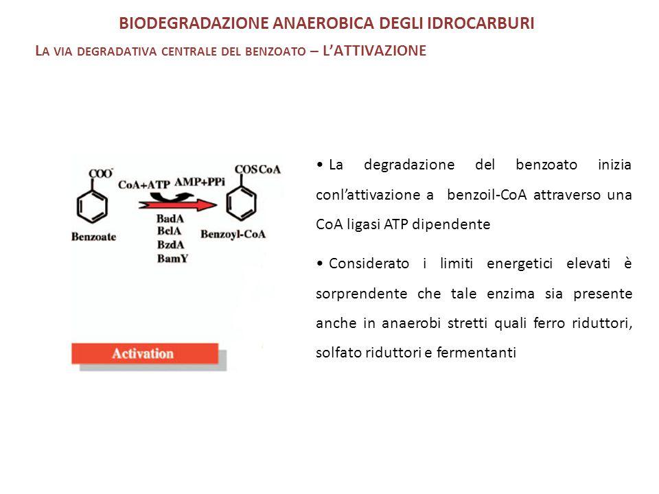 La degradazione del benzoato inizia conl'attivazione a benzoil-CoA attraverso una CoA ligasi ATP dipendente Considerato i limiti energetici elevati è sorprendente che tale enzima sia presente anche in anaerobi stretti quali ferro riduttori, solfato riduttori e fermentanti BIODEGRADAZIONE ANAEROBICA DEGLI IDROCARBURI L A VIA DEGRADATIVA CENTRALE DEL BENZOATO – L'ATTIVAZIONE