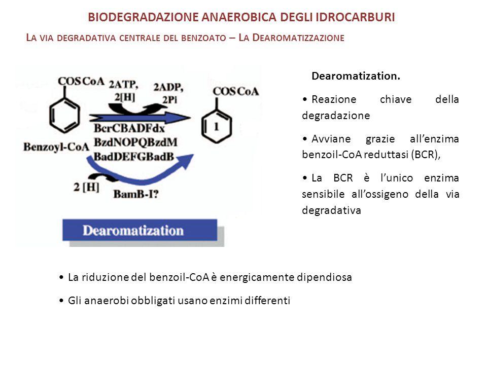 Dearomatization. Reazione chiave della degradazione Avviane grazie all'enzima benzoil-CoA reduttasi (BCR), La BCR è l'unico enzima sensibile all'ossig
