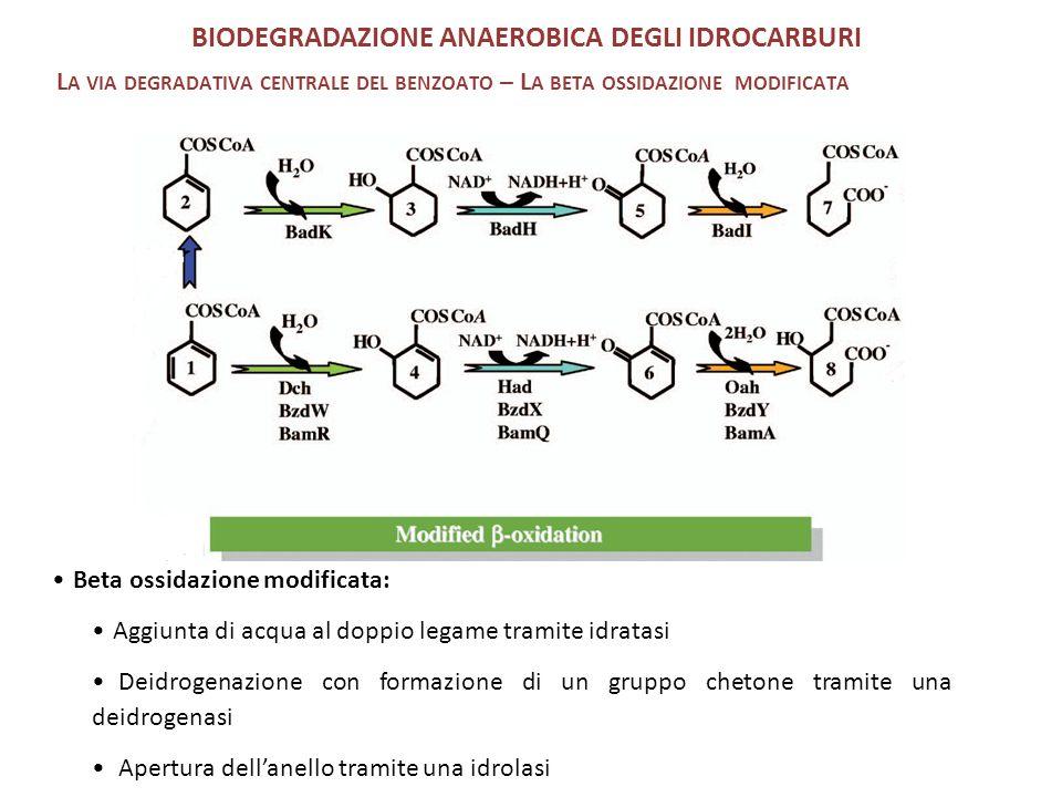 Beta ossidazione modificata: Aggiunta di acqua al doppio legame tramite idratasi Deidrogenazione con formazione di un gruppo chetone tramite una deidrogenasi Apertura dell'anello tramite una idrolasi BIODEGRADAZIONE ANAEROBICA DEGLI IDROCARBURI L A VIA DEGRADATIVA CENTRALE DEL BENZOATO – L A BETA OSSIDAZIONE MODIFICATA