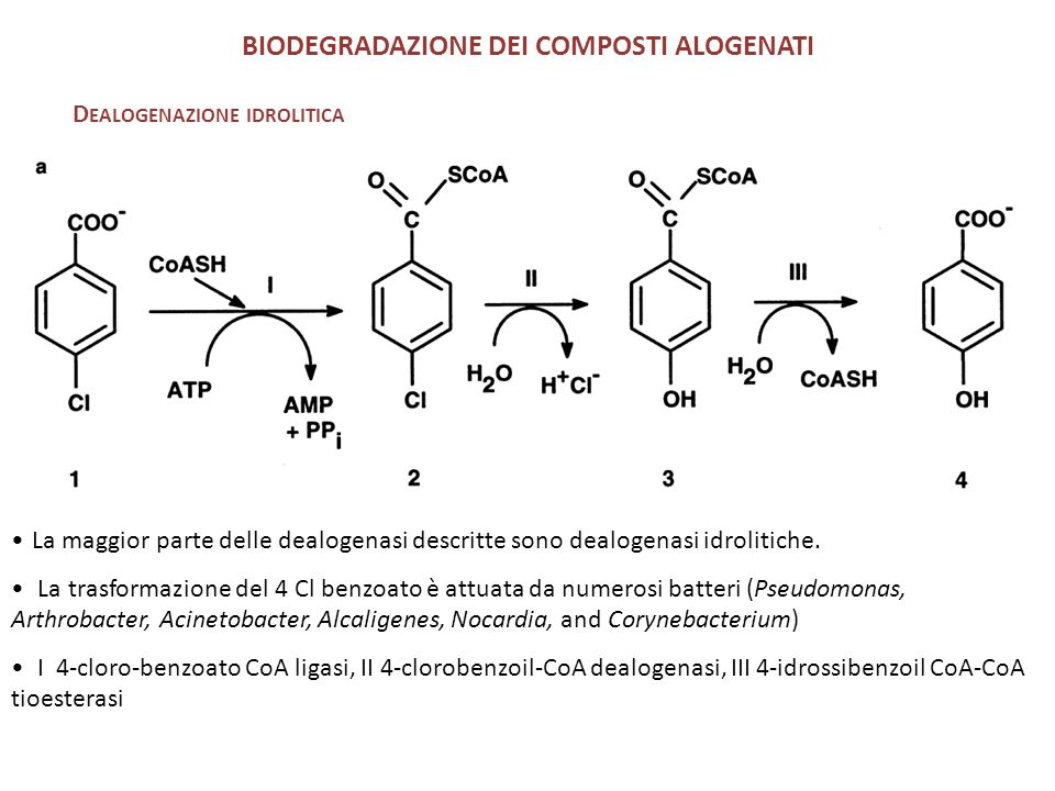 BIODEGRADAZIONE DEI COMPOSTI ALOGENATI D EALOGENAZIONE IDROLITICA La maggior parte delle dealogenasi descritte sono dealogenasi idrolitiche. La trasfo
