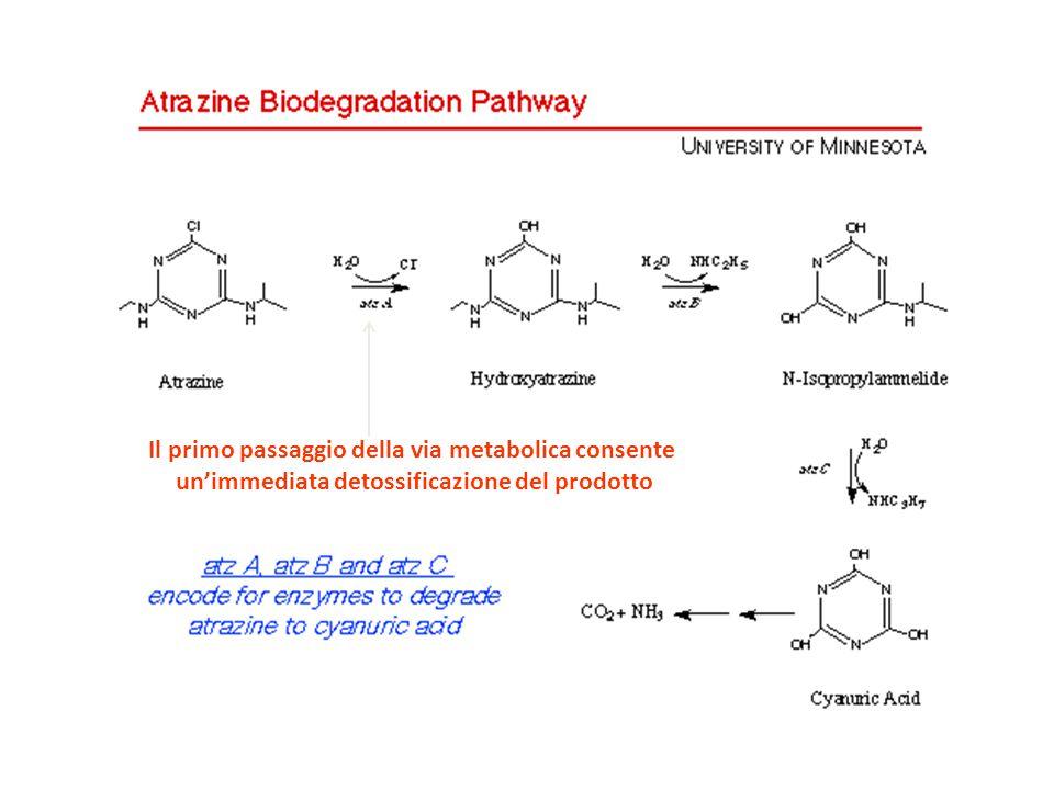 Il primo passaggio della via metabolica consente un'immediata detossificazione del prodotto