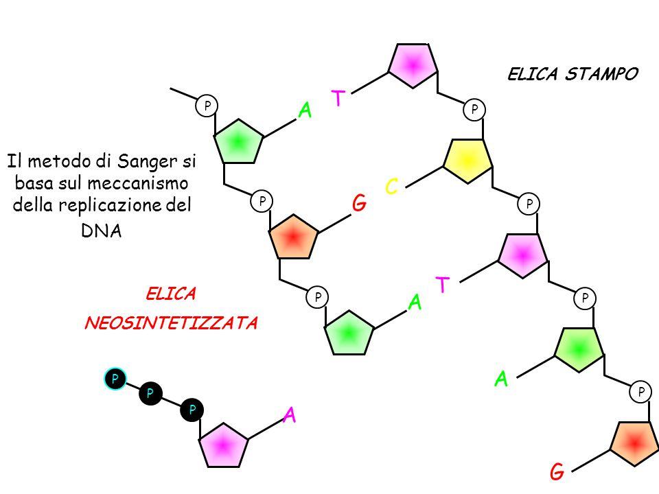 Il metodo di Sanger si basa sul meccanismo della replicazione del DNA P P P P T G A T C P A P G P A ELICA STAMPO P A P P ELICA NEOSINTETIZZATA