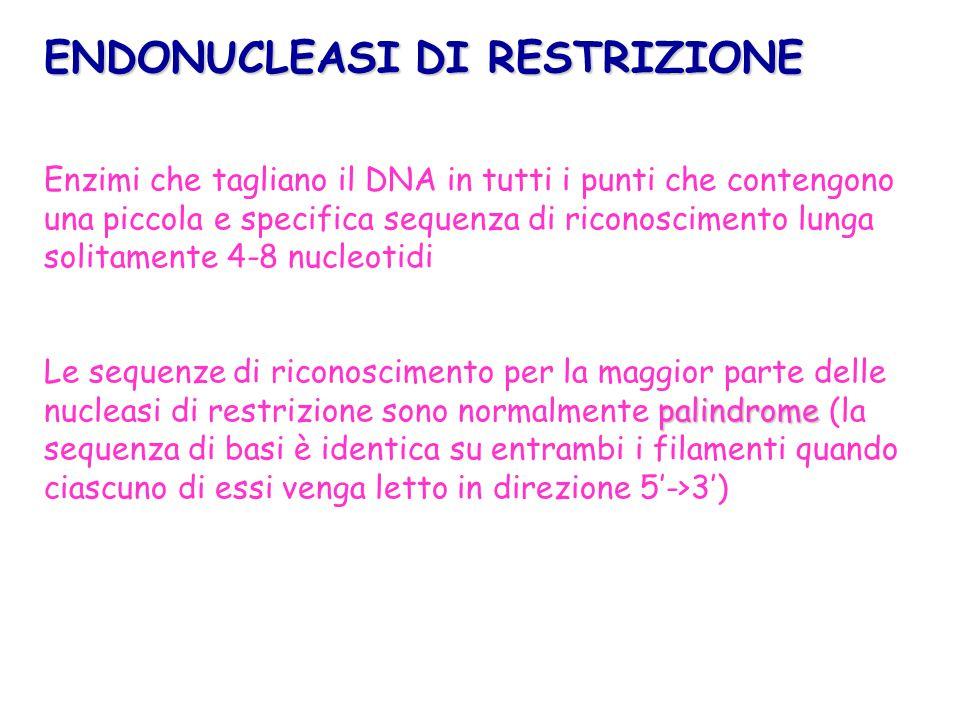 Enzimi che tagliano il DNA in tutti i punti che contengono una piccola e specifica sequenza di riconoscimento lunga solitamente 4-8 nucleotidi palindr