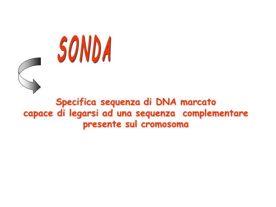 Specifica sequenza di DNA marcato capace di legarsi ad una sequenza complementare presente sul cromosoma