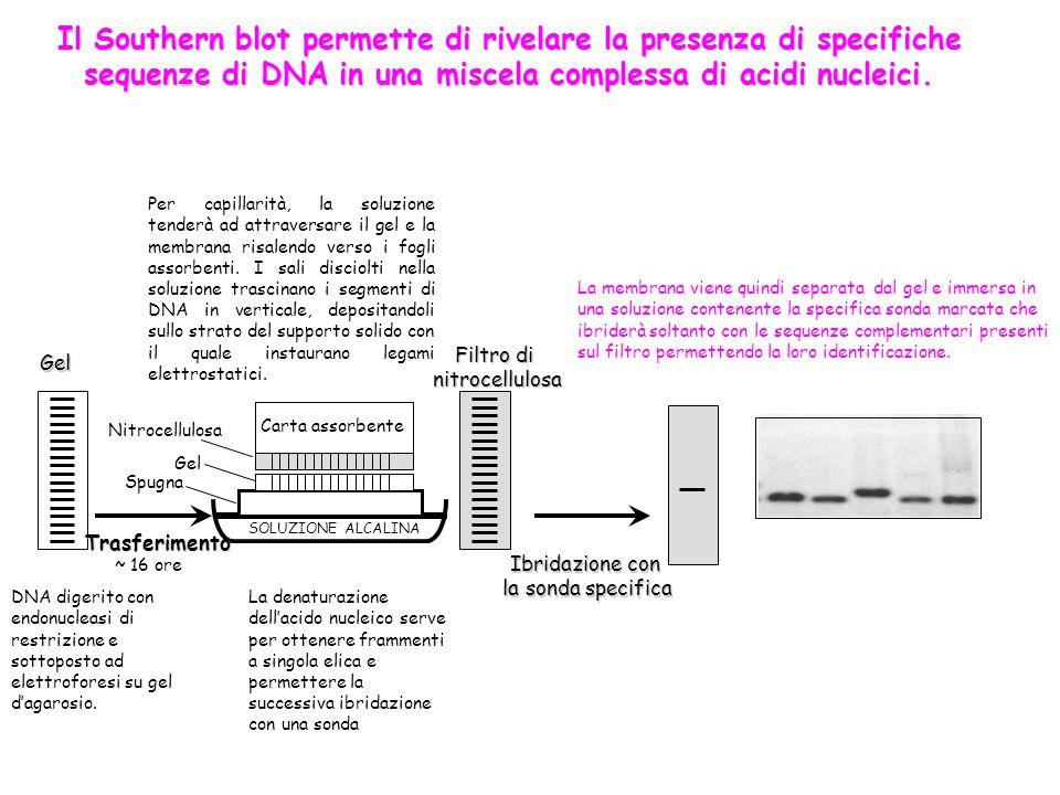 ~ 16 ore SOLUZIONE ALCALINA Trasferimento Filtro di nitrocellulosa Ibridazione con la sonda specifica la sonda specifica Gel Gel Nitrocellulosa Spugna