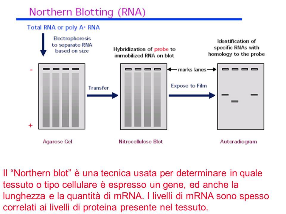 """Il """"Northern blot"""" è una tecnica usata per determinare in quale tessuto o tipo cellulare è espresso un gene, ed anche la lunghezza e la quantità di mR"""